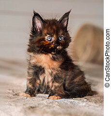 Beautiful fluffy multi colored black maine coon baby kitten ...