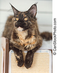 Beautiful fluffy multi colored black maine coon kitten ...