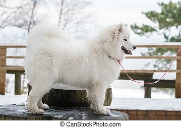 Beautiful fluffy Samoyed white dog on a leash