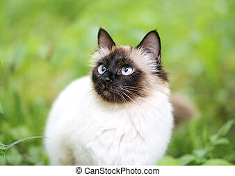 fluffy Siamese cat - beautiful fluffy Siamese cat in the...