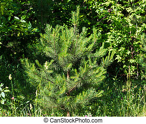 Beautiful fluffy spruce on a sunny day.
