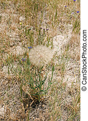 Beautiful fluffy white dandelion grows on the ground in the middle of field