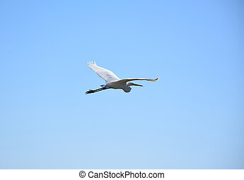Beautiful Flying White Great Egret in the Sky