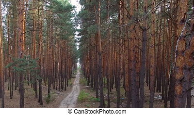 beautiful footpath in pine forest.