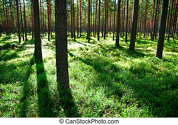 pine trees with shadows in evening light