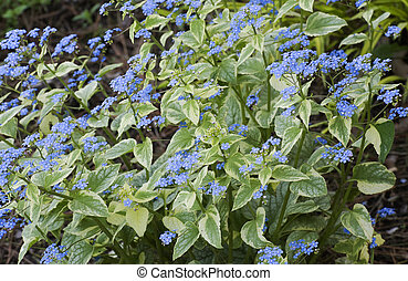 beautiful forget-me-not flowers