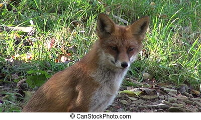 beautiful fox in the forest