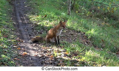 beautiful fox sit on forest road