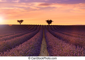Beautiful fragrant lavender fields of Provence sunset,...
