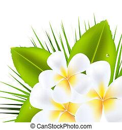 Beautiful Frangipani - 3 Beautiful Frangipani, Isolated On...