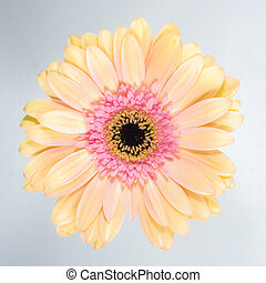 Beautiful fresh chrysanthemum on white background.