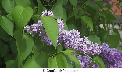 Beautiful fresh purple violet lilac flowers. Close up of purple lilac flowers.