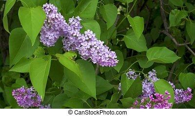 Beautiful fresh purple violet lilac flowers. Close up of purple lilac flowers.