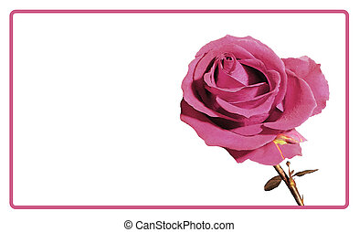Beautiful fresh red-purple rose in the texture in the frame.