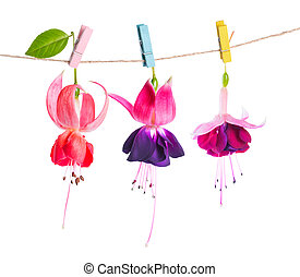 beautiful fuchsia flowers handing on rope with colorful clothespin is isolated on white background, close up