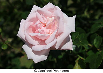 beautiful full-blown pink rose in the garden
