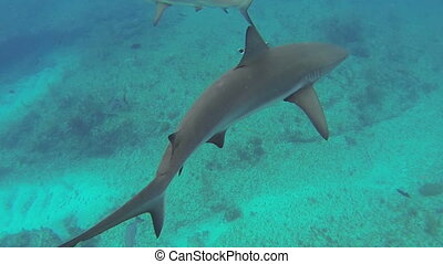Beautiful full HD footage of curious Caribbean reef sharks (Carcharhinus perezii) in the Bahama's