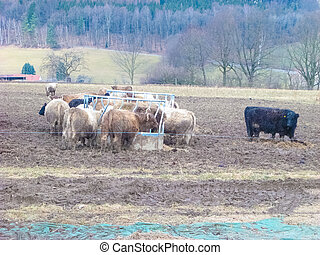 Beautiful funny highland cow grazing in mountain fields looking into camera. agriculture concept.