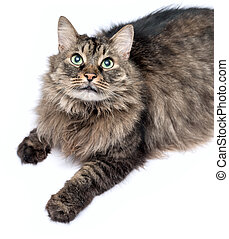 Beautiful furry adult cat on white background