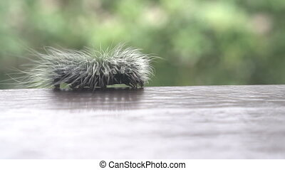 Beautiful furry caterpillar - Beautiful black and white...