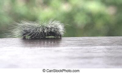 Beautiful furry caterpillar - Beautiful black and white...