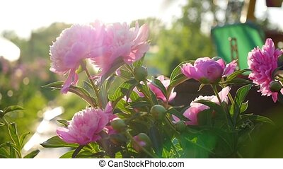 Beautiful garden flower peony. Summer sunlight. Garden, nature