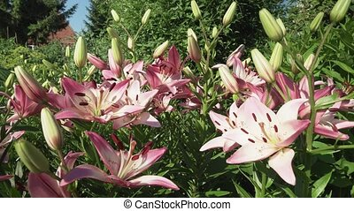 Beautiful garden lilies (Lilium) grow in garden - Beautiful...