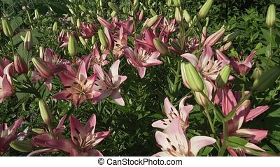 Beautiful garden lilies (Lilium) grow in garden stock...
