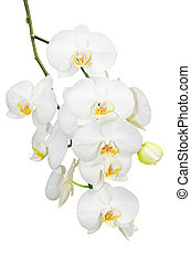 Beautiful gentlie branch of white romantic orchid flowers