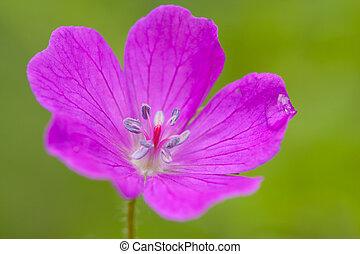 beautiful geranium