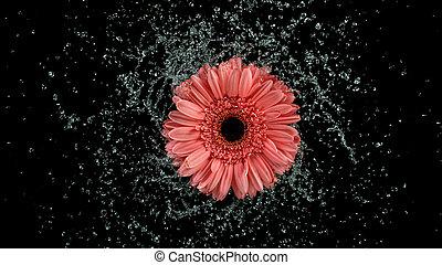 Beautiful gerbera bloom rotation with water splash