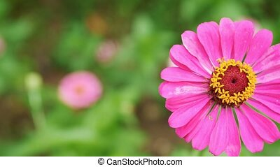 Beautiful Gerbera flowers on the green background on a horizontal panorama