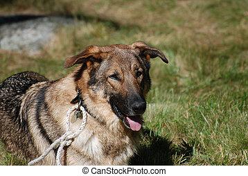 Beautiful German Shepherd Dog Face