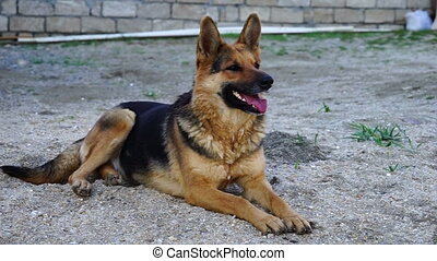 beautiful German shepherd dog played in the yard