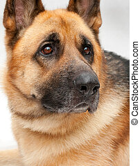 Beautiful German shepherd on a white background.