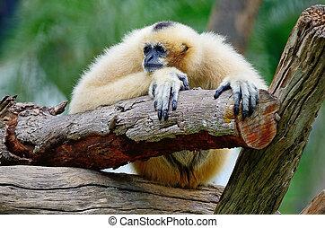 White-cheeked Gibbon - Beautiful Gibbon, White-cheeked...