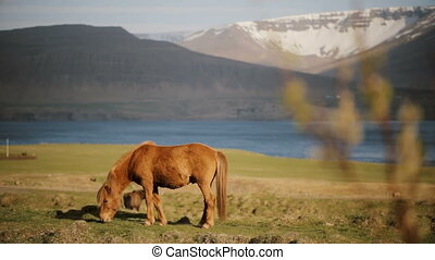 Beautiful ginger Icelandic horse eating grass, grazing on...