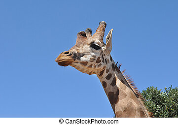 Beautiful giraffe with blue background