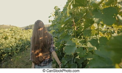 Beautiful girl harvests grapes in summer in the vineyards