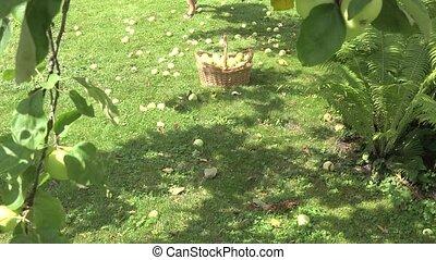 Beautiful girl pick up windfall fruits in apple garden....