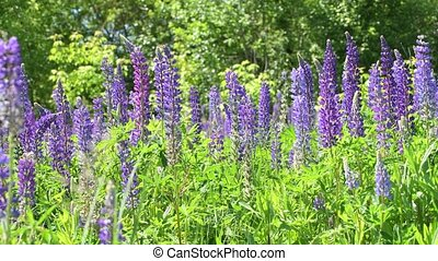 Beautiful glade with blooming lupins - Beautiful glade with...