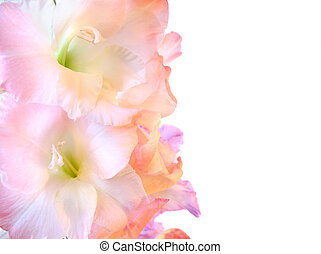 Beautiful gladioluses on white