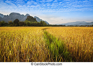 Beautiful golden and green Rice field with mountain in Vang Vieng, Laos.