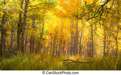 Beautiful golden aspen grove - sun streaming through amazing...