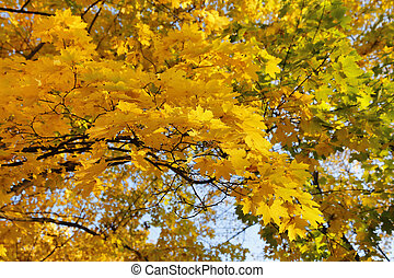 Beautiful golden autumn branches of maple