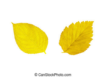 beautiful golden autumn leaves isolated on white