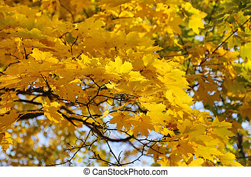 Beautiful golden autumn leaves of maple
