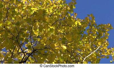 beautiful golden fall aspen forest