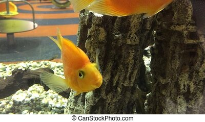 Beautiful golden fishes swim in transparent aquarium water