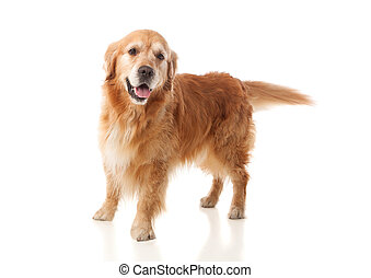 Beautiful Golden Retriever dog breed in isolated studio on...